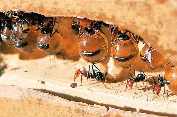 Böcekli yemekler zararlı mı faydalı mı?